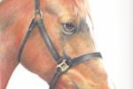 Chestnut Horse Portrait in coloured pencil