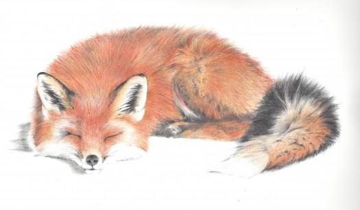 Fox Pencil Drawing Fox Pencil Drawing Red Fox