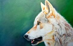 European wolf.