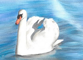 Draw a mute swan using coloured pencils by David Lewry